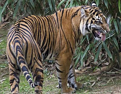 Ferocious Tiger Art Print by Brendan Reals