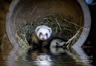 Ferret Photograph - Ferret In A Pot by Simon Bratt Photography LRPS