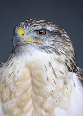 Ferruginous Hawk Photograph - Ferruginous Hawk Buteo Regalis by John Short