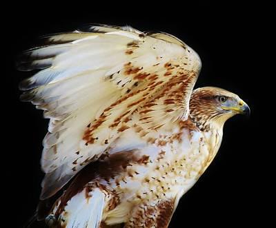 Ferruginous Hawk Art Print by Paulette Thomas