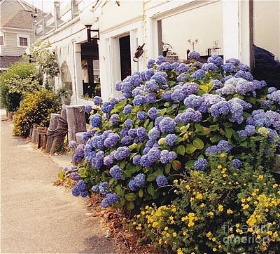Photograph - Ferry Port Hydrangeas by Barbara Plattenburg