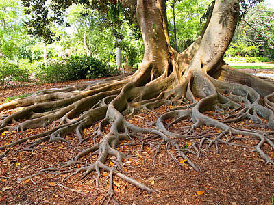 Photograph - Ficus Tree Roots by Leontine Vandermeer