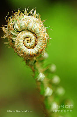 Photograph - Fiddlehead by Tonia Noelle