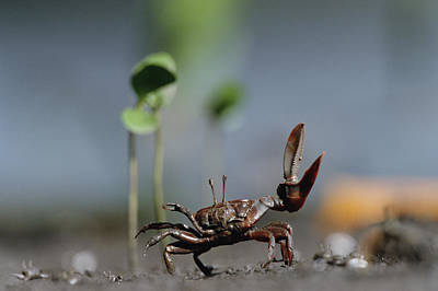 Fiddler Crab Uca Maracoani Waving Art Print