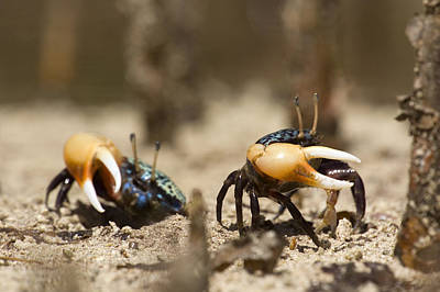 Kosrae Island Photograph - Fiddler Crabs Living In The Roots by Tim Laman