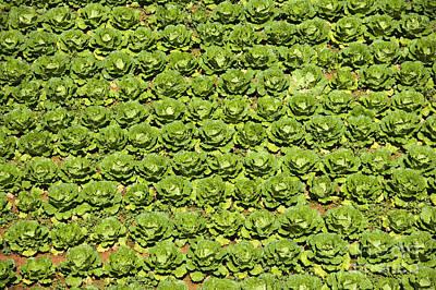 Field Of Cabbage Art Print by David Buffington
