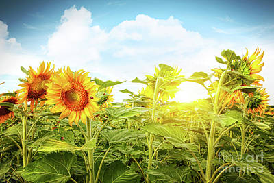 Field Of Colorful Sunflowers And Blue Sky  Art Print by Sandra Cunningham