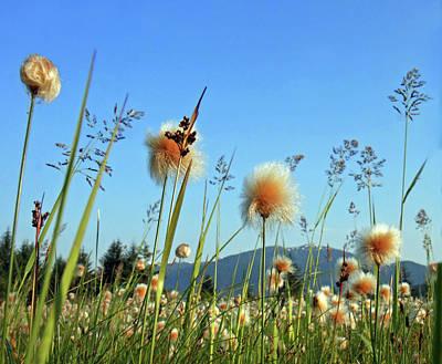 Field Of Cotton Grass In Alaska. Art Print