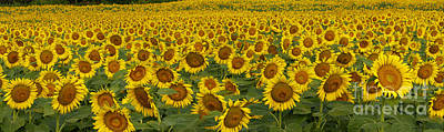 Field Of Domestic Sunflowers Art Print by Kenneth M Highfill and Photo Researchers
