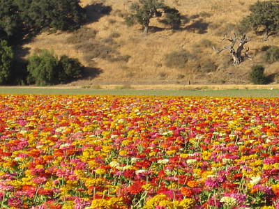 Photograph - Field Of Flowers  Solvang California by John Shiron