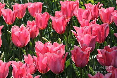 Field Of Pink Tulips Art Print