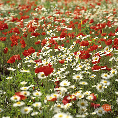 Field Of Poppies And Daisies In Limagne  Auvergne. France Art Print by Bernard Jaubert