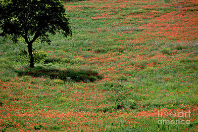 Field Of Poppies. Art Print by Bernard Jaubert