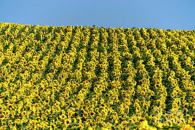 Field Of Sunflowers Print by Bernard Jaubert