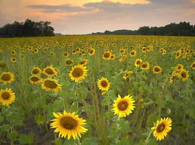 Flint Hills Of Kansas Photograph - Field Of Sunflowers Flint Hills by Tim Fitzharris