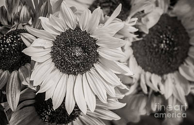 Photograph - Field Of Sunflowers   by Sherry Davis