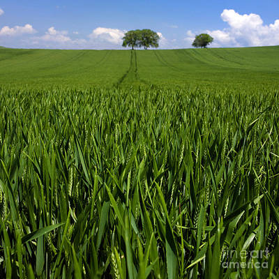 Field Of Wheat. Auvergne. France. Europe Art Print by Bernard Jaubert