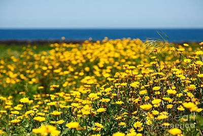 Same Day Flowers Photograph - Field Of Yellow Daisies by Gaspar Avila
