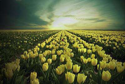 Bed Photograph - Field Of Yellow Tulips by Maik Keizer