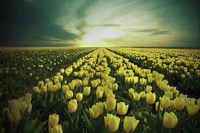 Field Of Yellow Tulips Art Print by Maik Keizer