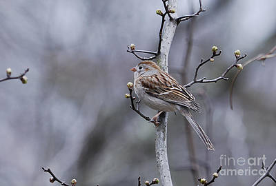 Photograph - Field Sparrow by Randy Bodkins