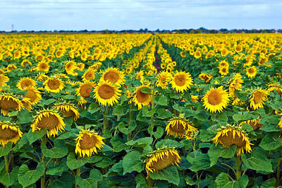 Field With Sunflowers In France Art Print