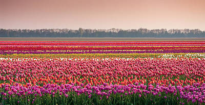 Field With Tulips Art Print by Hans Engbers