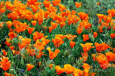 Art Print featuring the photograph Fields Of Poppies by Johanne Peale