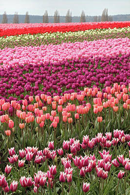 Photograph - Fields Of Tulip Town In Mount Vernon Washington by Pierre Leclerc Photography