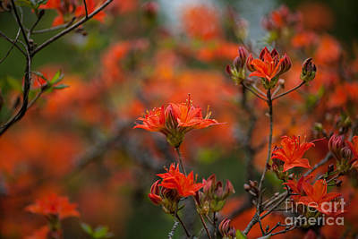 Rhodies Photograph - Fiery Spring by Mike Reid