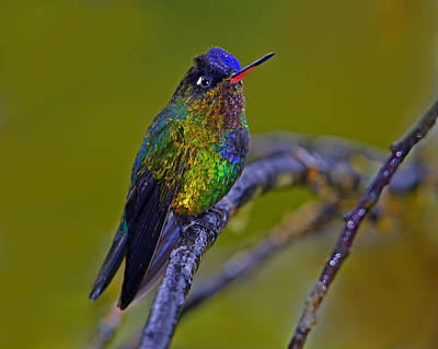 Photograph - Fiery-throated Hummingbird by Tony Beck
