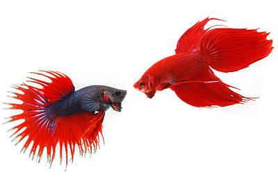 Betta Splendens Photograph - Fighting Fish by Kritiya Sumpun