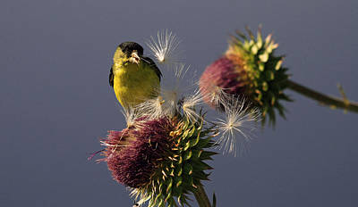 Photograph - Finch Eating Thistle Seeds by Dorothy Cunningham