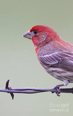 Red Finch Photograph - Finch On Fence by Robert Frederick