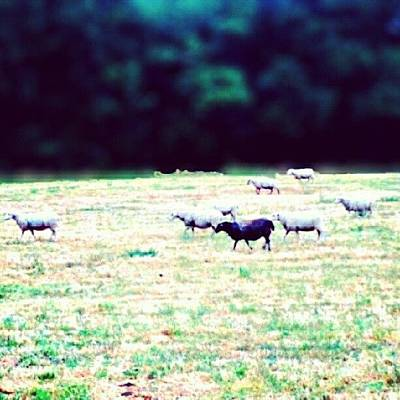 Sheep Photograph - Find The Error ;p Trouvez Erreur :p by Zoltan Toth