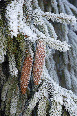 Photograph - Fir Cones In Winter by Matthias Hauser