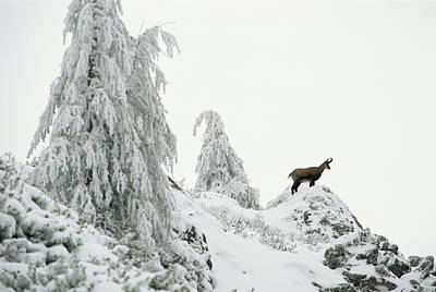 Fir Trees And Chamois In Snow Art Print
