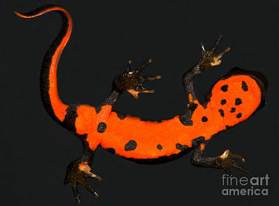 Fire Salamander Photograph - Fire Belly Newt by Dante Fenolio