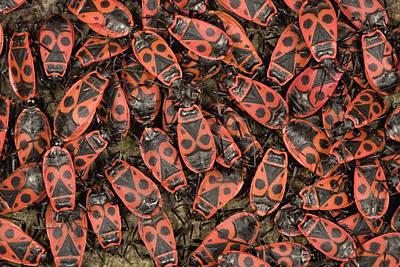 Photograph - Fire Bugs Mating En Masse by Ingo Arndt