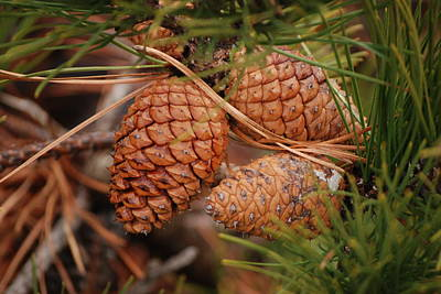 Photograph - Fire Island Cones In Winter by Harvey Barrison