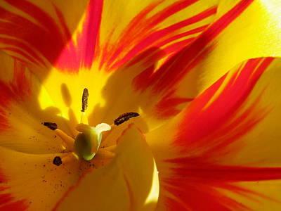 Fire Tulip Art Print
