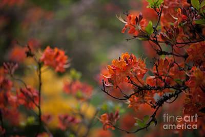 Rhodies Photograph - Firestorm by Mike Reid