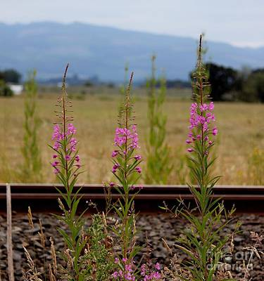 Photograph - Fireweed by Erica Hanel