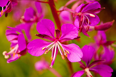 Photograph - Fireweed by Tikvah's Hope