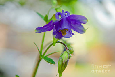 First Columbines Art Print