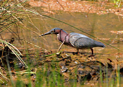 Field Photograph - First Contact Green Heron - Ghnc9798b by Paul Lyndon Phillips