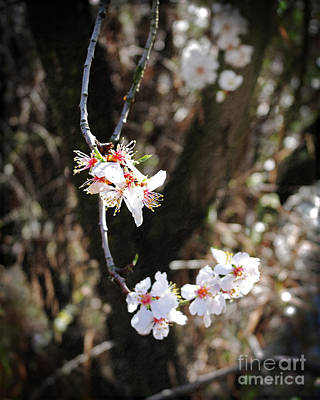 Photograph - First Sakura Branch by Laura Iverson