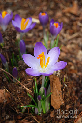 Digital Art - First Sign Of Spring Is Crocus by Eva Kaufman