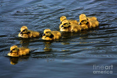 First Swim Baby Geese Art Print by Nick Gustafson