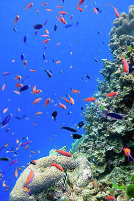 Undersea Photograph - Fish On Tropical Coral Reef by Carl Chapman